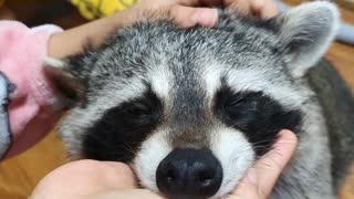 Good massage raccoon