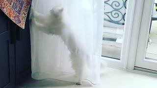 White Persian cat dances behind window sheer