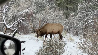 Elk grazing at the Grand Canyon