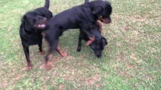Rottweiler Playtime