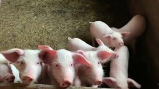 Little piggs