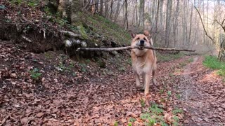 Dog running with a branch in his mouth