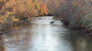 Beautiful Elk Seen Crossing Stream