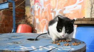 Stray Cat eats dry cat food outdoor