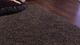 Kitten trying to play with staffie