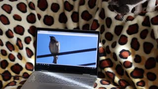 Cat discovers Bird on Computer Funny
