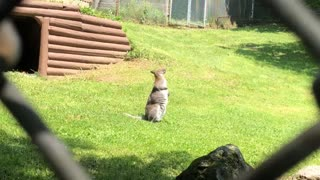 Watch Funny Kangaroo