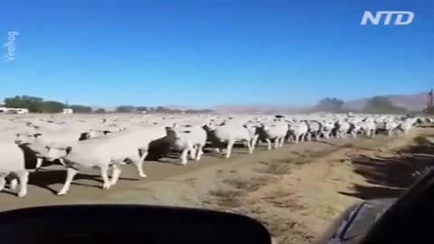 A jackass leading his flock