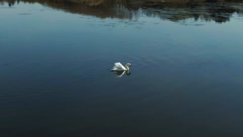 Large Swan in calm water - With beautiful music