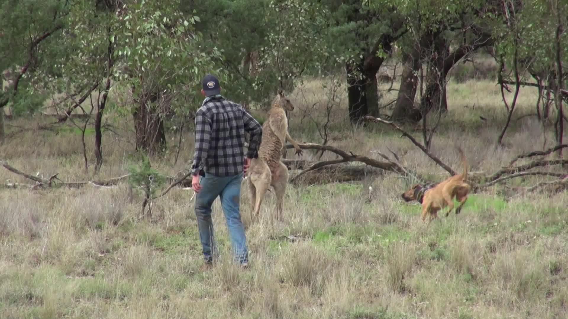 Greig slo kenguru i ansiktet for å redde hund