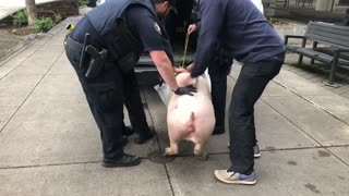 Police Rescue Pig From Being Beheaded By Leftist Protesters In Portland