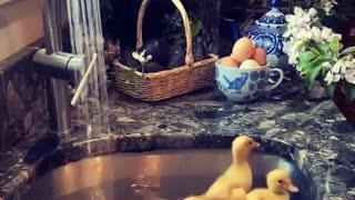 Cute little ducklings go for a swim in the kitchen sink