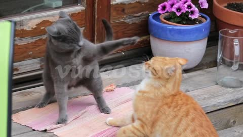 Slow Motion – A Ginger And Grey Cat Fighting, One Gets Scared And Escapes