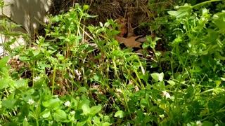 Wild edible Chickweed