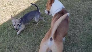 Dog Meets His Neighbor Jack
