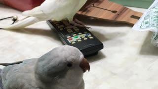 Singing Bird Has Festive Spirit