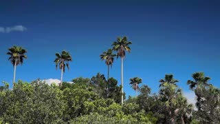 Palm Trees above Mangroves in St Petersburg Florida