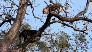 Black Panther Attack Leopard on Tree