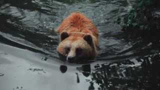 A bear cooling down and going for a nice swim
