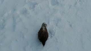 Ordinary city pigeon in the winter.