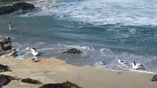 Mama Seal Protects Newborn from Seagulls during First Swim
