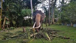 Largest Elephant Tusker | Largest Domestic Elephant