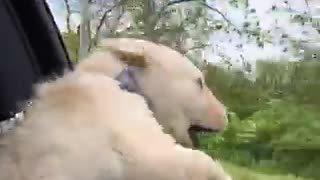 Puppy battles the wind during car ride