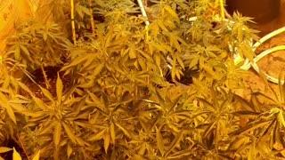 veging out medical marijuana grow