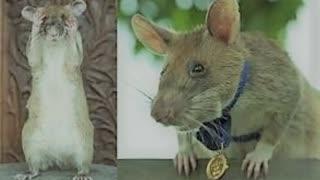 watch: hero rat retired