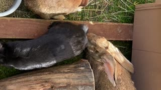 Two Young Flemish Rabbits with Mother