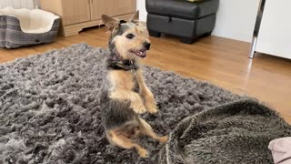 Dog sits just like a meerkat in order to watch TV