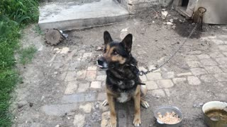 Dog Mukhtar Performs Teams