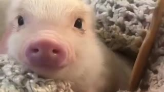 Tiny piglet is relaxing while receiving a massage from me