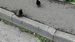 I love good pigeons.