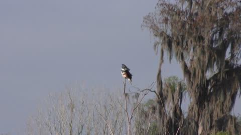 Belted Kingfisher perching in the wind
