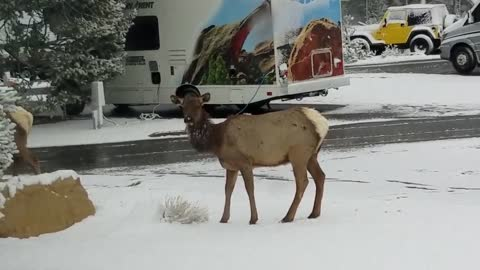 Grand Canyon, Elk visit the campground.