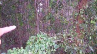 STINGLESS HONEYBEES IN MALAYSIA...TOK JAMBUL