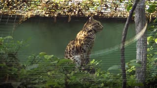leopard almost died