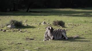 video zebra