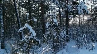 Beautiful forest in the winter.