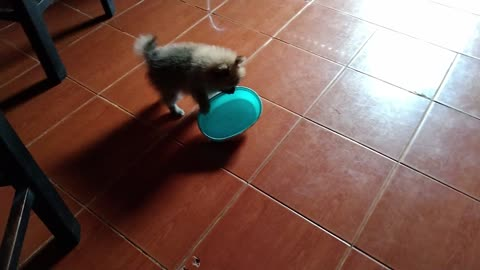 Cute Pomeranian Likes to Take Things Funny Puppy Video