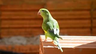 Beautiful Brazilian parrot
