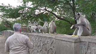 Grumpy monkey throws a tantrum when tourist runs out of bananas