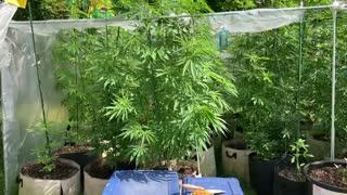 Consumers Energy pure Michigan marijuana greenhouse August 16, 2021