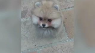 Cute Pomeranian adorably jumps for the camera