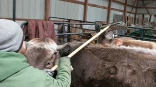 Steer Needs Rake for Proper Scratch Session