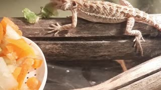 Bearded dragon eats