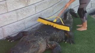 Massive Alligator gets a back scrub