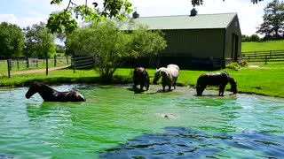 Horses having fun rolling and splashing in pond