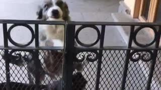 Dogs jump up to welcome owner